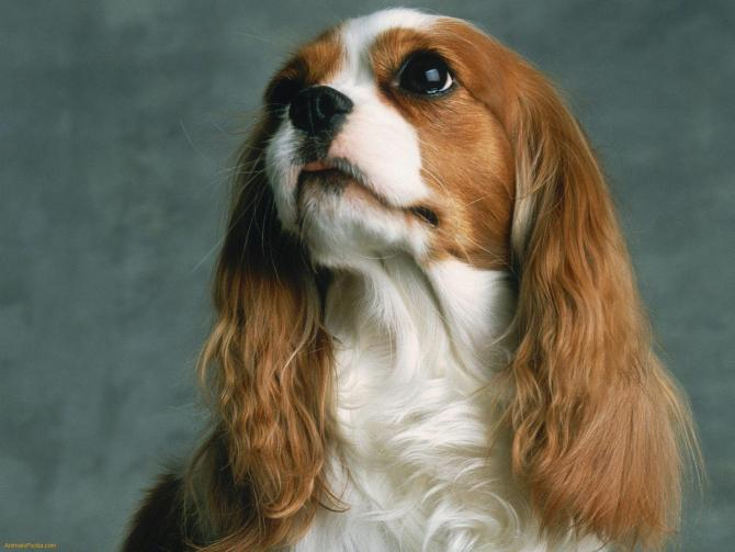 xCavalier-King-Charles-Spaniel-1.jpeg.pagespeed.ic.wpiiVnDSbE