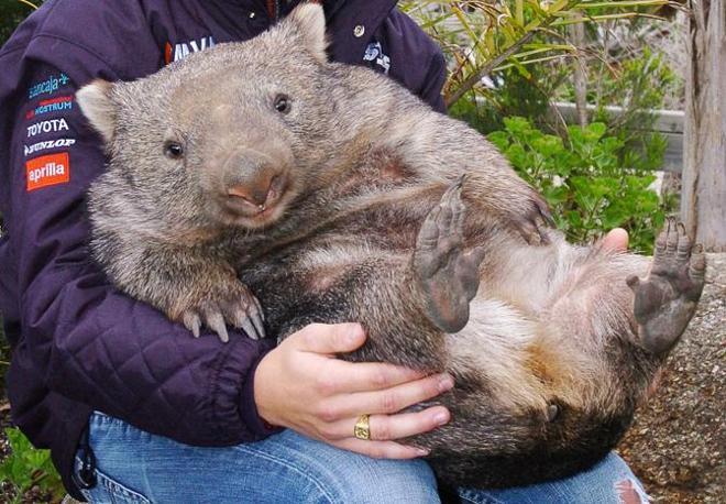 FILES-AUSTRALIA-ANIMAL-WOMBAT
